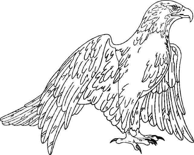 L 39 aigle royal aquila chrisatos - Comment dessiner un aigle royal ...