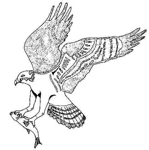 L 39 aigle royal aquila chrisa tos - Comment dessiner un aigle royal ...