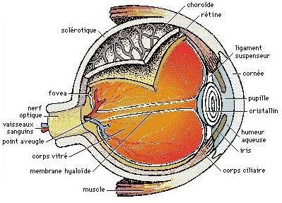 Tout sur les am tropies l 39 oeil normal - Couche du globe oculaire ...
